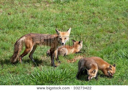 Female Red Fox With Pups