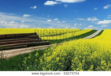 blooming canola field in the spring time