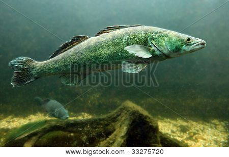 Underwater photo of a big Zander or Pike-perch (Sander lucioperca). Trophy fish in Hracholusky Lake - Czech Republic, Europe.