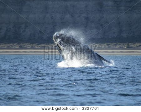 Right Whale Jumping