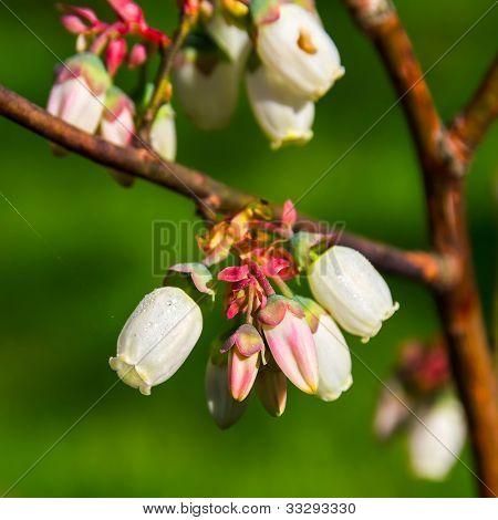 Flowers of cultivated kind of bog blueberry (Vaccinium uliginosum).