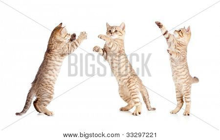 jumping british kitten set