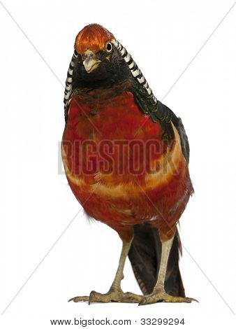 Portrait of Male Golden Pheasant or 'Chinese Pheasant', Chrysolophus pictus, standing in front of white background