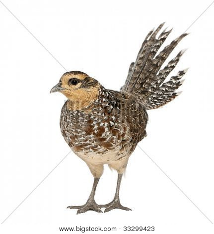 Female Reeves's Pheasant, Syrmaticus reevesii, can grow up to 210 cm long,, standing in front of white background