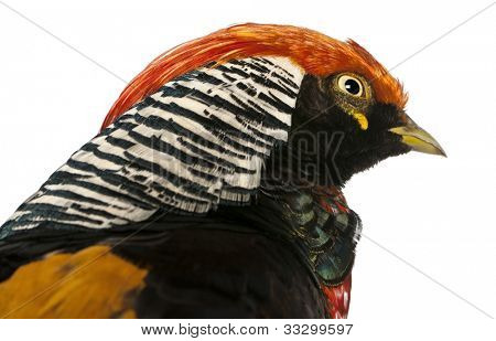 Close up of Male Golden Pheasant or 'Chinese Pheasant', Chrysolophus pictus, in front of white background