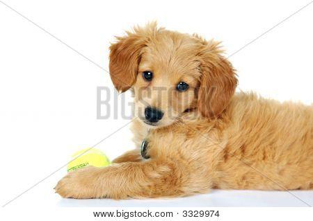 Minature Golden Doodle Puppy