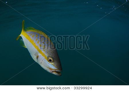 Yellowtail Snapper In Ocean