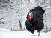 Sad Thermophilic Bird Turkey Among Snow, Snowdrifts. The Concept Of Climate Change, Changing Weather poster