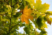 Yellow Leaves Of Linden Against The Sky And The Backlight. Autumn Background From Leaves Of A Linden poster
