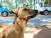 The Common Indian Pariah Stray Dog Also Called Pure Breeds Native Dog Or Desi Street Dog In The Road poster