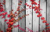 Red Ivy Climbing On Wood Fence. Creeper Plant On Gray And White Wooden Wall Of House. Ivy Vine Growi poster