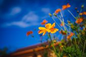 Close Up Yellow Cosmos Flowers Or Sulfur Cosmos In The Park In The Middle Of The Forest And Green Na poster