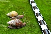stock photo of escargot  - Snail Race - JPG