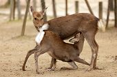 stock photo of indecent  - two deers in indecent sexual position in Nara park - JPG