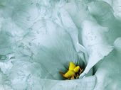 Floral Turquoise Background. Flowers And Petals Of A  Turquoise Roses.  Close-up. Nature. poster