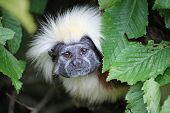 Cotton Top Tamarin, Saguinus Oedipus, With Eyes Wide Open Looking Out From And Framed By Leaves With poster