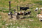 Herd Of Cows Graze And Drink Water. Mountain Pasture. Italian Alps, Italy, South Europe poster