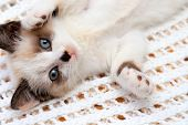 A Cute White And Brown  Kitten, A British Shorthair, Lies Upside Down On A Soft Lace Plaid. Little B poster
