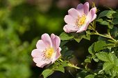 stock photo of windflowers  - windflower close up of pink flower head in spring - JPG