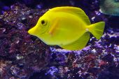 Big Bright Yellow Close-up Fish In The Ocean. Side View Of A Fish Swimming Towards. Bokeh Fish With  poster