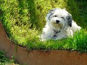 picture of augen  - Lying Havanese is completely relaxed in a green bed of grass - JPG