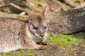 stock photo of tammar wallaby  - A sleeping parma wallaby in a dutch zoo - JPG