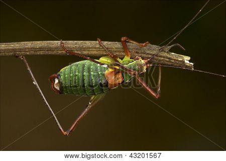 Close Up Of Grasshopper Orthopterous Tettigoniidae