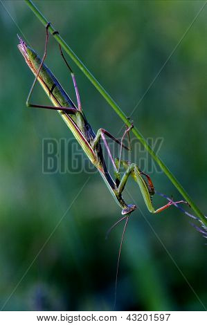 Mantodea  Close Up Praying Mantis