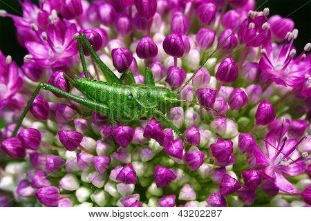 Flower Grasshopper  In The Bush
