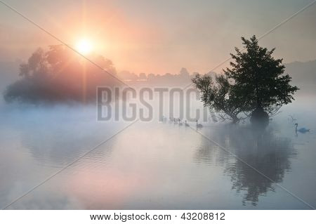 Family of Swans Swim Across Misty Foggy Autumn Fall Lake At Sunrise