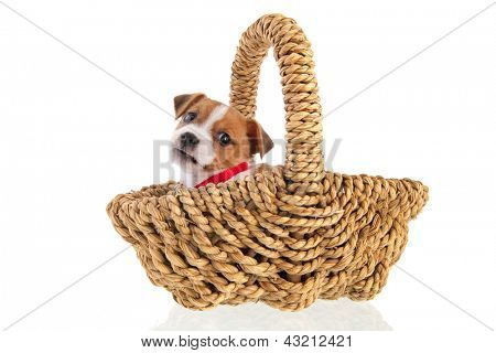 Six weeks old Jack Russel puppy dog in wicker basket isolated over white background