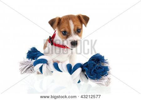 Six weeks old Jack Russel puppy dog with blue and white chewing rope isolated over white background