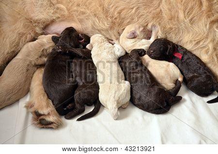 Labradoodle Pups Feeding