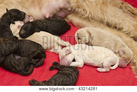 Newborn Pups