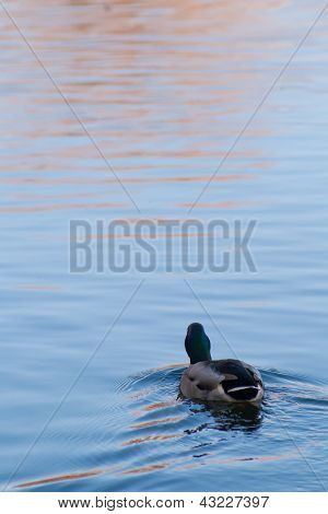Duck Floating Away Into The Distance