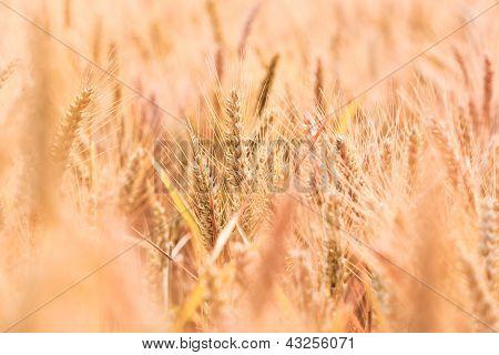 spica in Golden Corn Field In Detail