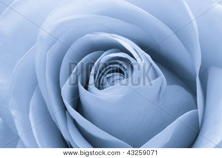 close up of blue rose petals