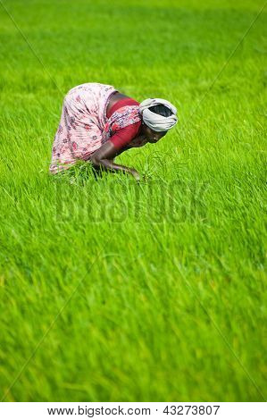 Indian Woman Works At Rice Field