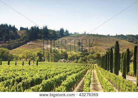 Vineyard's Hills In California