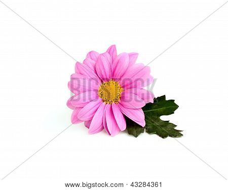 Pink Chrysanthemum On A Branch