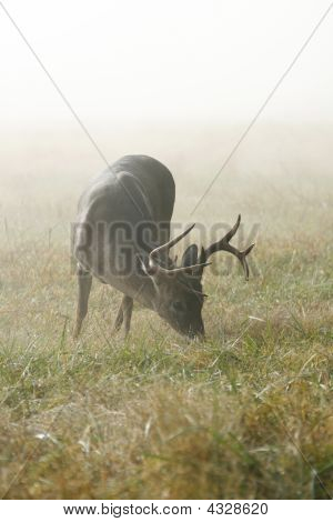Grazing Whitetail Buck.