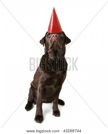 a chocolate lab with a birthday hat on