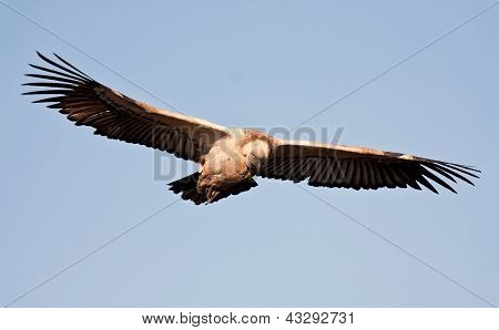 Vulture In Flight In Blue Sky