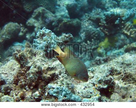 Pullerfish