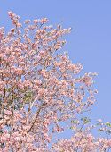 foto of lapacho  - Pink Trumpet Or Tatebuia Blossom With Blue Sky - JPG