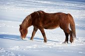 picture of shire horse  - Brown Horse in a cold winter pasture - JPG