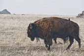 pic of hump day  - Buffalo standing in the dry grasses of spring - JPG