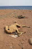 Carcasses of dead camels in the desert