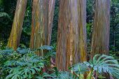 picture of eucalyptus leaves  - Wet rainbow Eucalyptus trees at Maui - JPG