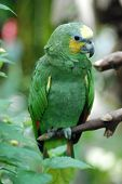 pic of polly  - Green Parrot Sitting on a branch Tree Bird Leaf Polly Exotic - JPG